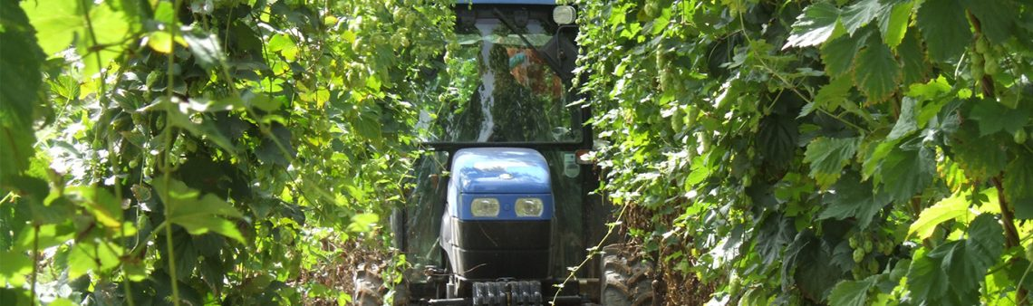 Photo of a tractor coming through the hop bines. Purely decorative