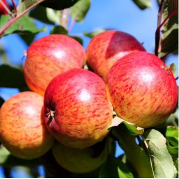 Photo of a cluster of apples on a tree. Purely decorative