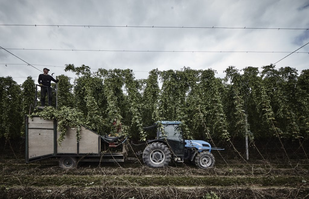 houblon vert Photo of hop bines being picked and loaded onto a tractor trailer